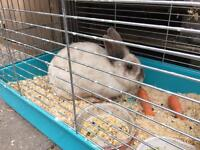 Female rabbit for sale