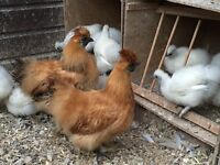 FREE VARIOUS COCKRELS SILKIES CEREMAS ETC FREE TO GOOD HOMES ONLY PLEASE