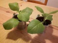 2 x mexican mint plants