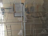 Two cockatiels with cages and accessories for sale