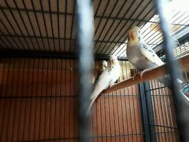Baby budgies for sale