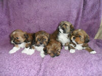 Beautiful Lhasa Apso Puppies Kennel Club Registered