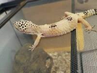 Lepord Gecko and home