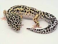 2x Male Jungle Mack Snow het RADAR Leopard Geckos