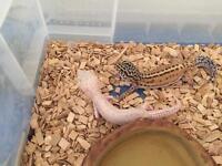 2 female leopard geckos