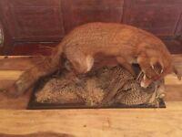Fox with Pheasant