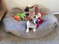 Jack Russel cross Australia terrier