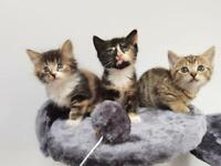 Stunning exotic kittens