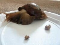 Giant african land snail babies