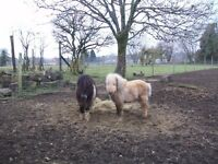 miniature colts one palomino one skewbald