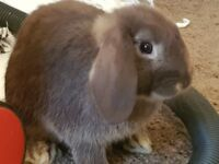 3 baby mini lion lops - come with cage!