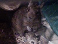 1 year old Degus for adoption