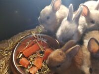 Four weeks old babies rabbits they are almost ready for a new home they are a hand pam size