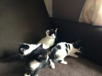 Lovely kittens £50each