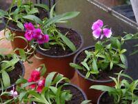 pots of dianthus
