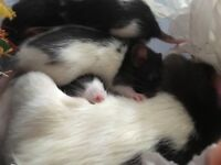 2 female dumbo black hooded rats four months old