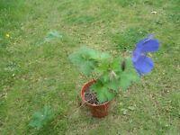 Plant for sale- Hardy Geranium `Brookside' in 9 cm pot