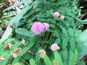 20-250 Semi MIMOSA NUTALLII Pianta sensitiva Sensitive Plant korn seeds pudica - Italia - L'oggetto può essere restituito - Italia