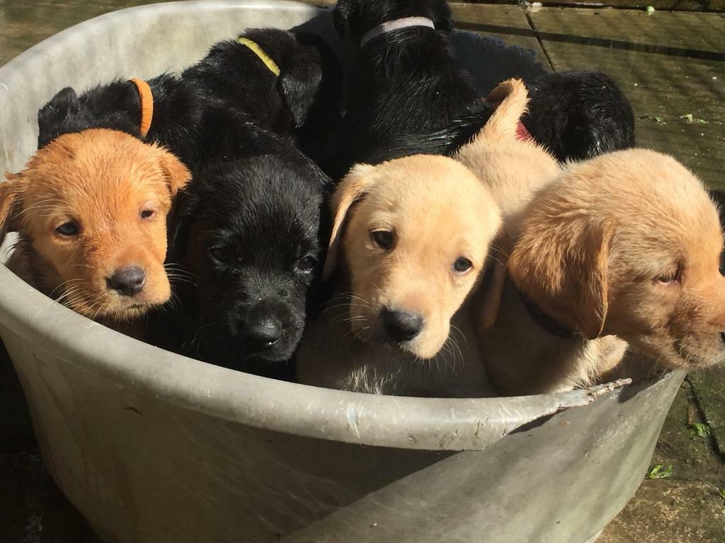 Labrador Puppies In Bridgend Gumtree