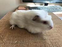 Baby female Guineas pigs