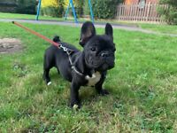Beautiful French Bulldog puppy for sale!
