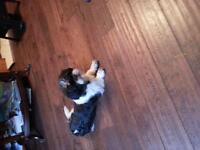 female shitzu dog for sale