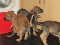 5 Male Puppies aged 11 wks (Mastiff & German Shepherd) Must go by 29th Jan £250 (reduced)