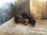 KC kennel club pedigree Dachshund PRA clear puppy
