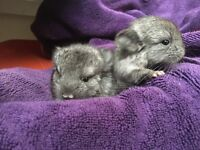 2 Baby chinchillas (together)