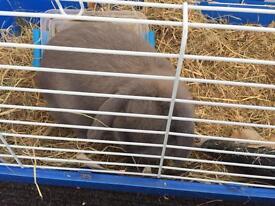 6month old rabbit