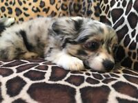 Beautiful poochi puppies