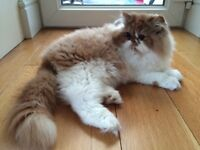 Pedigree Persian Kittens £525 each or best offer (They come with a lot of their essentials)