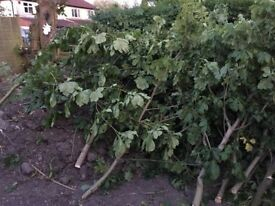Free timber - recently felled tree - all tree waste available!