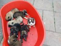 Akita puppies for sale.