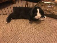 2 beautiful boy bunnies for sale