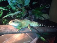 4ft by 4ft by 2ft Vivarium with Large Chinese Water Dragon £250.