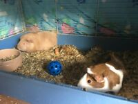 2 Female Guinea pigs to a loving home
