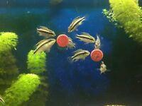 Kribensis - Kribs - 18+ weeks old - 3 males - 11 females