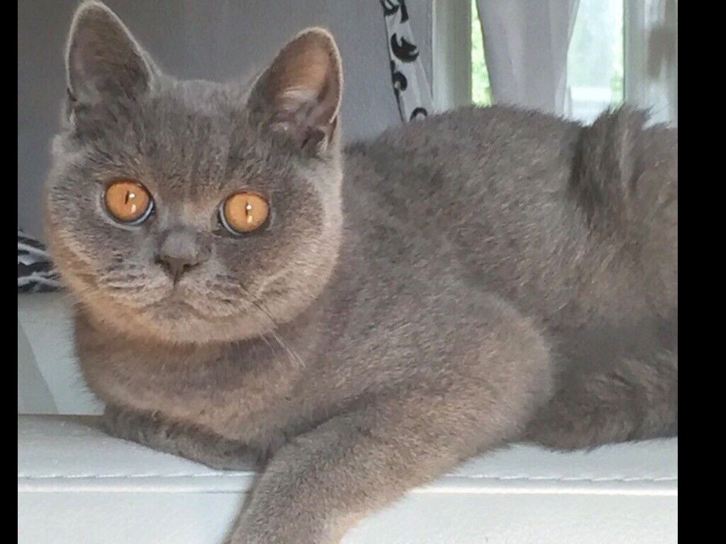 British shorthaired blue girl retired queen 2 years old pet home only no  breeders please | in Hirwaun, Rhondda Cynon Taf | Gumtree