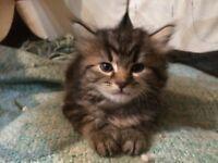 Stunning kittens for sale .