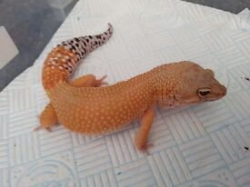Super hypo tangerine carrot tail Leopard Gecko