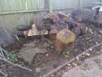 Large Cypress tree trunks recently felled