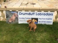 Puppys fox red Labradors for sale