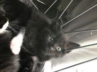 5 black / black and white kittens