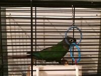 Conure for sale with Cage