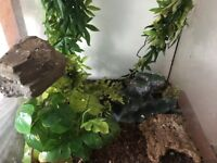 Two crested geckos and setup