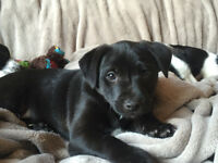 5 Jack Russell x Patterdale Puppies 8 weeks old