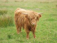 Highland x Bull
