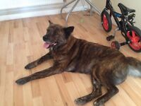 akita x for sale for a loving home