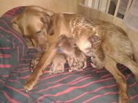 Puppy's for sale Fox red Labrador
